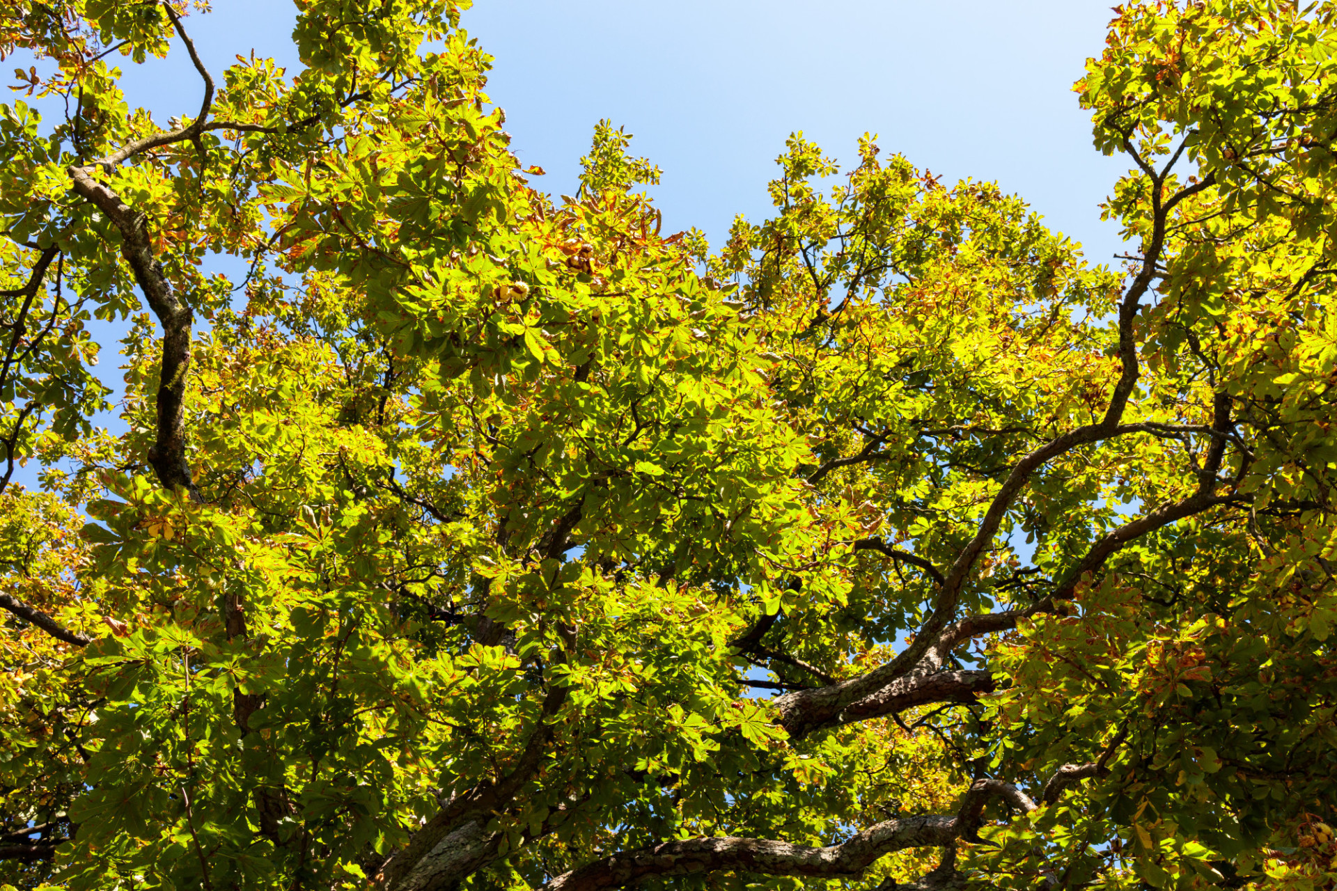 Looking up to a chestnut tree