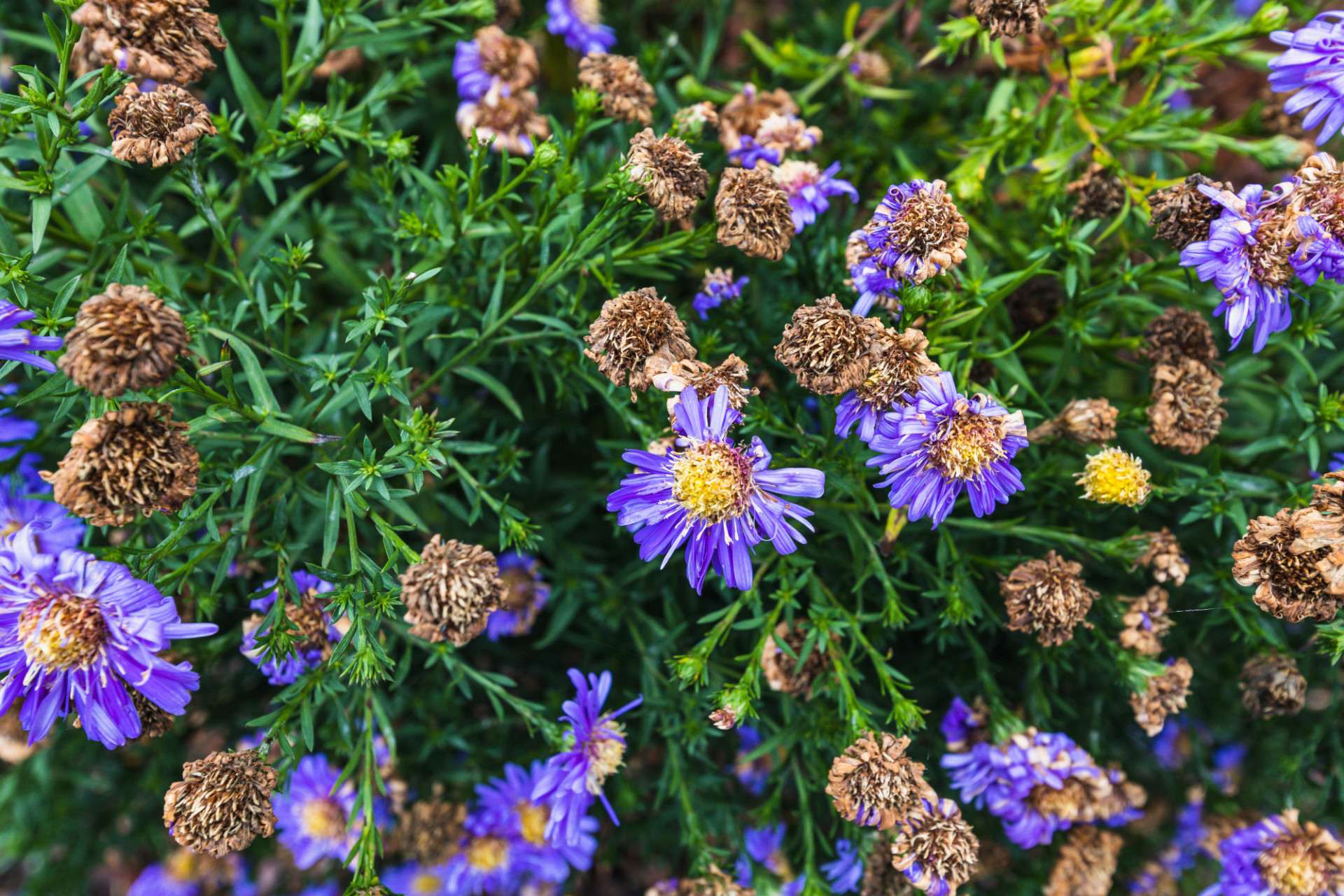 Purple aster flowers in October