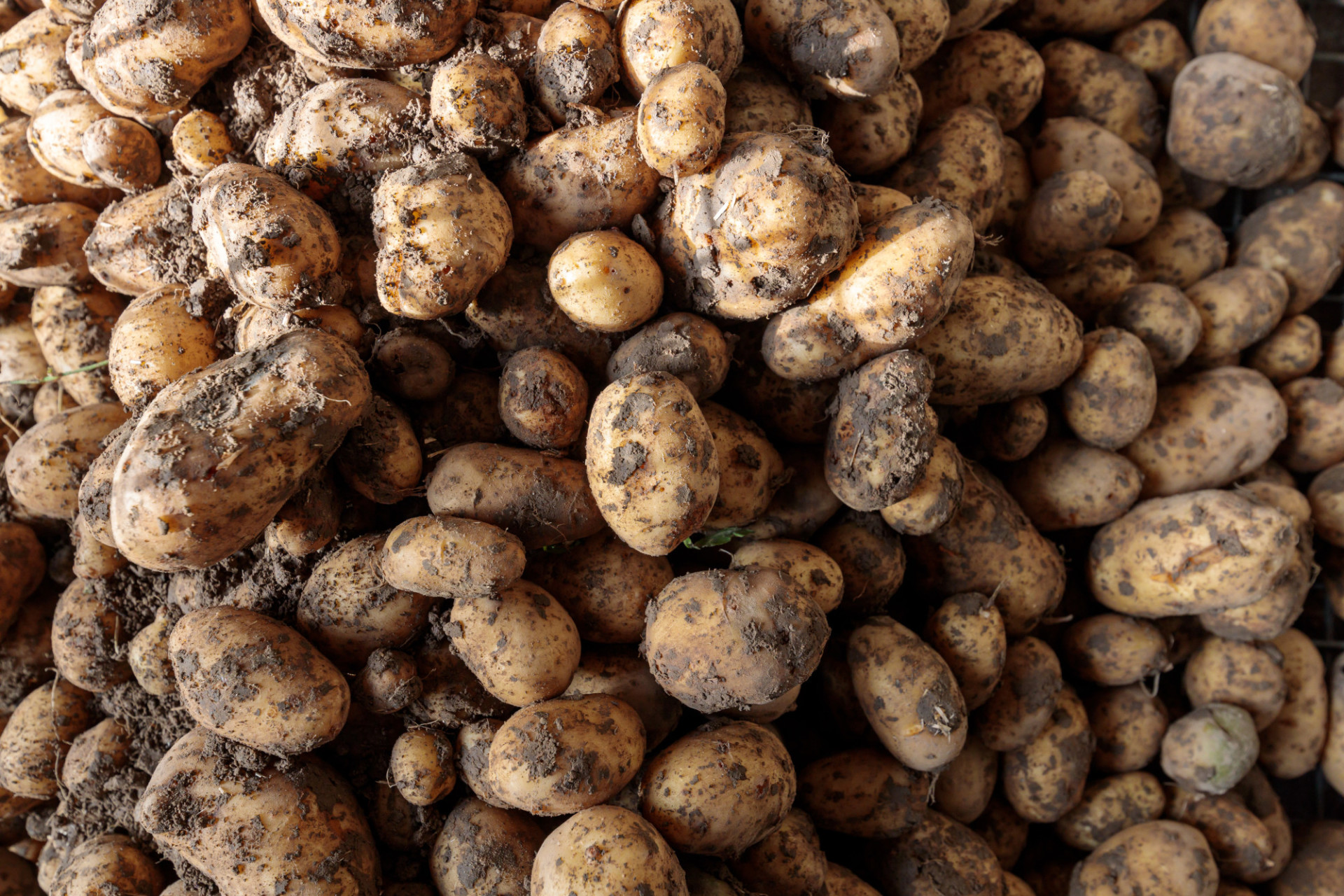 potatoes soiled with earth