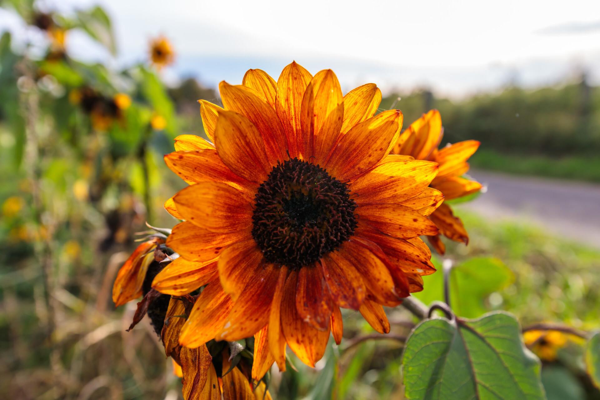 Beautiful orange sunflower in autumn