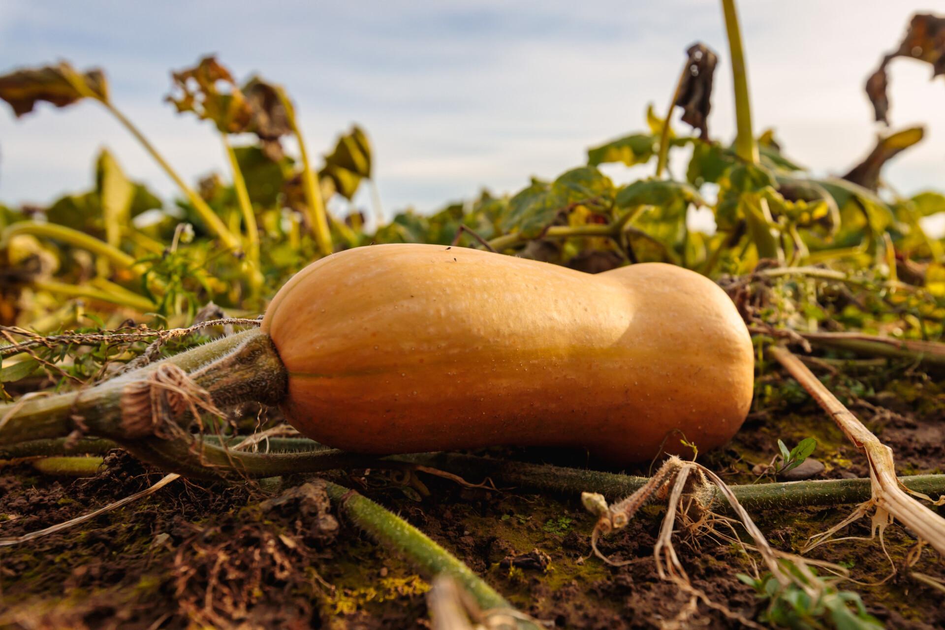 Pumpkin on a field