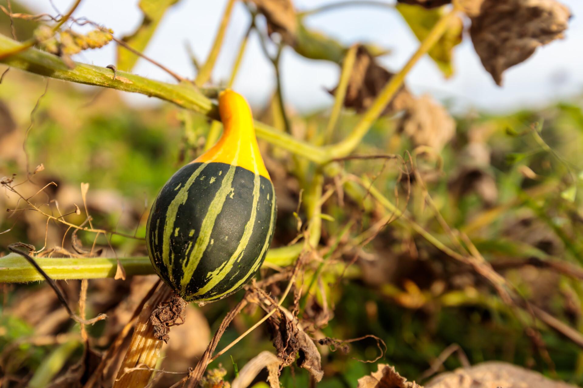 Beautiful pumpkin growing on a field in autumn