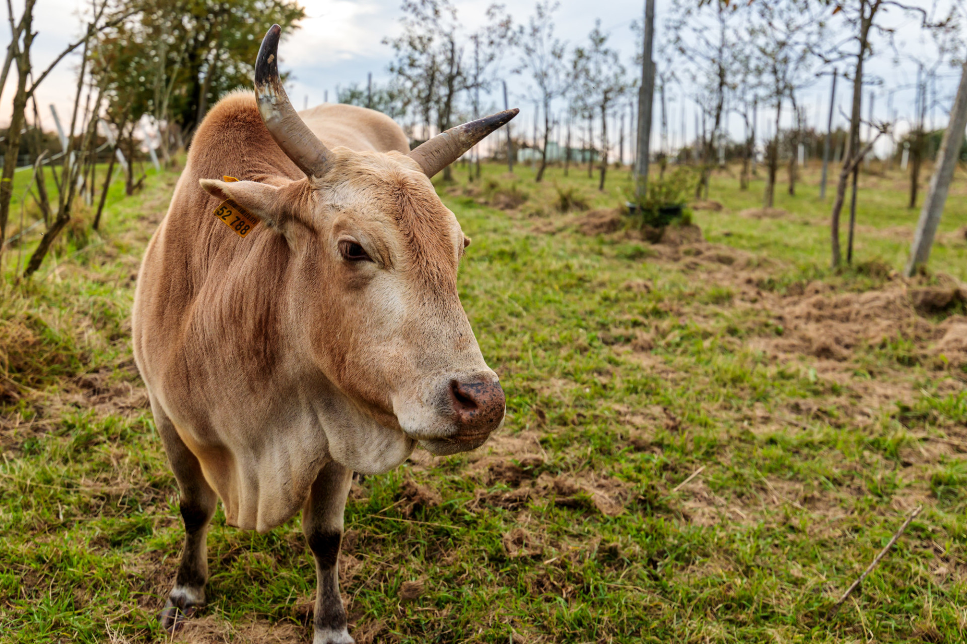 Brown cow with horns on a field in autumn