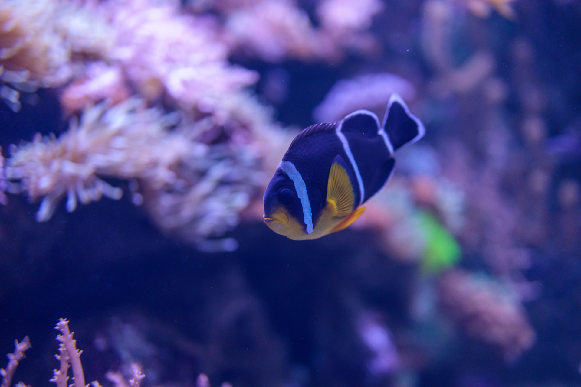 Three Stripe Clownfish