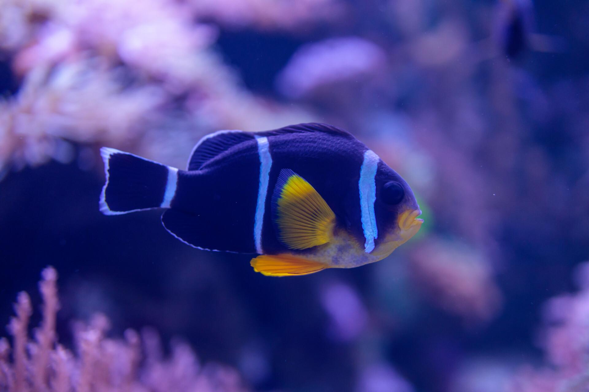 Amphiprion tricinctus Three Stripe Clownfish