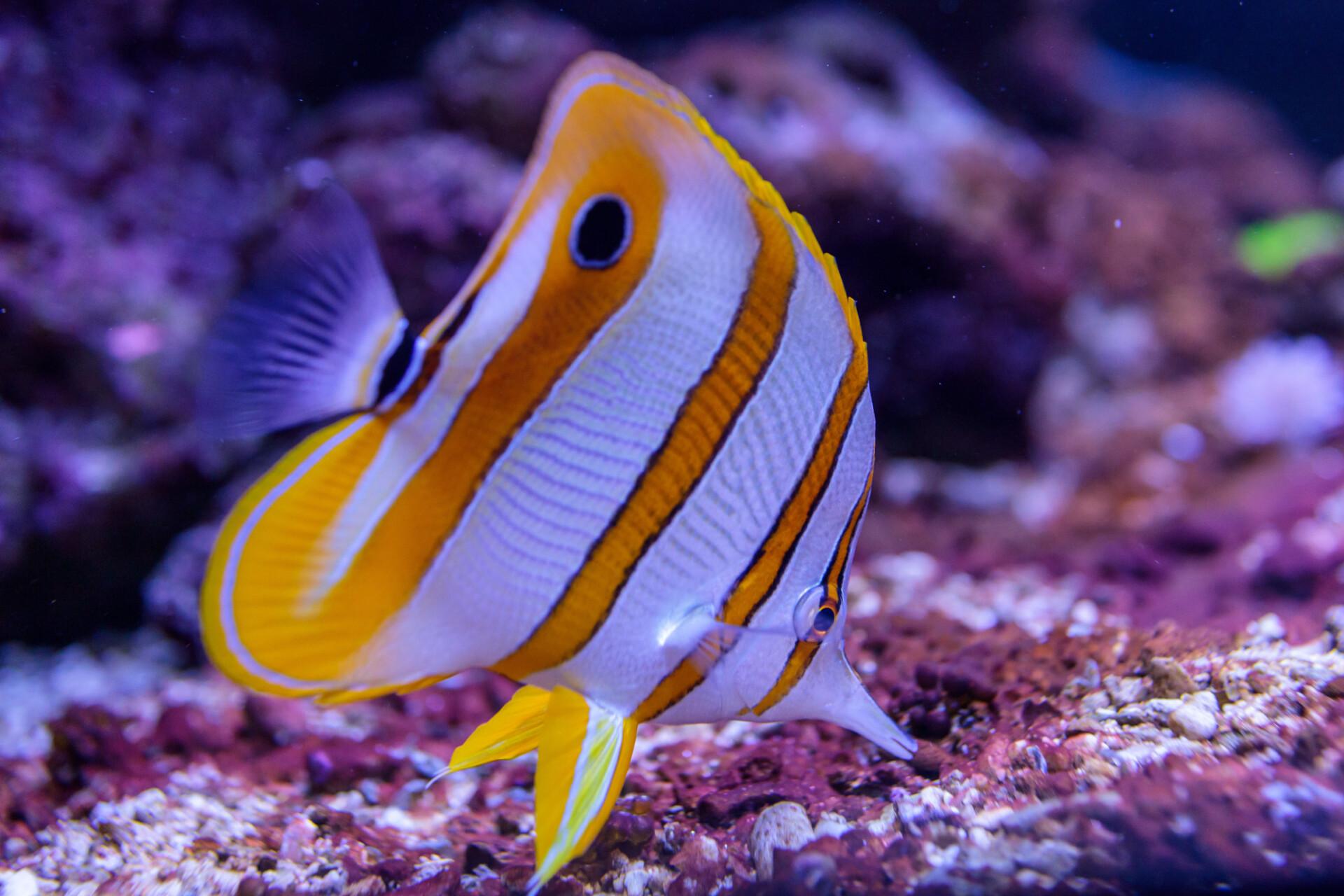 Copperband butterflyfish, Chelmon rostratus