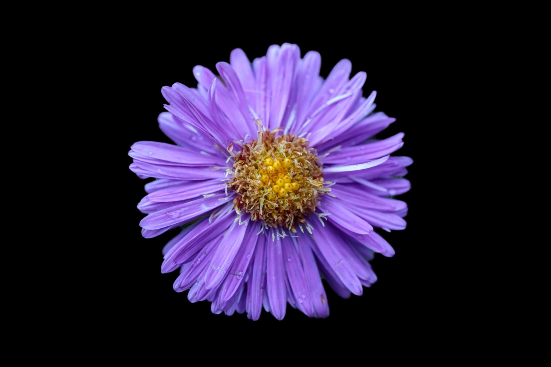 aster flower blackbackground