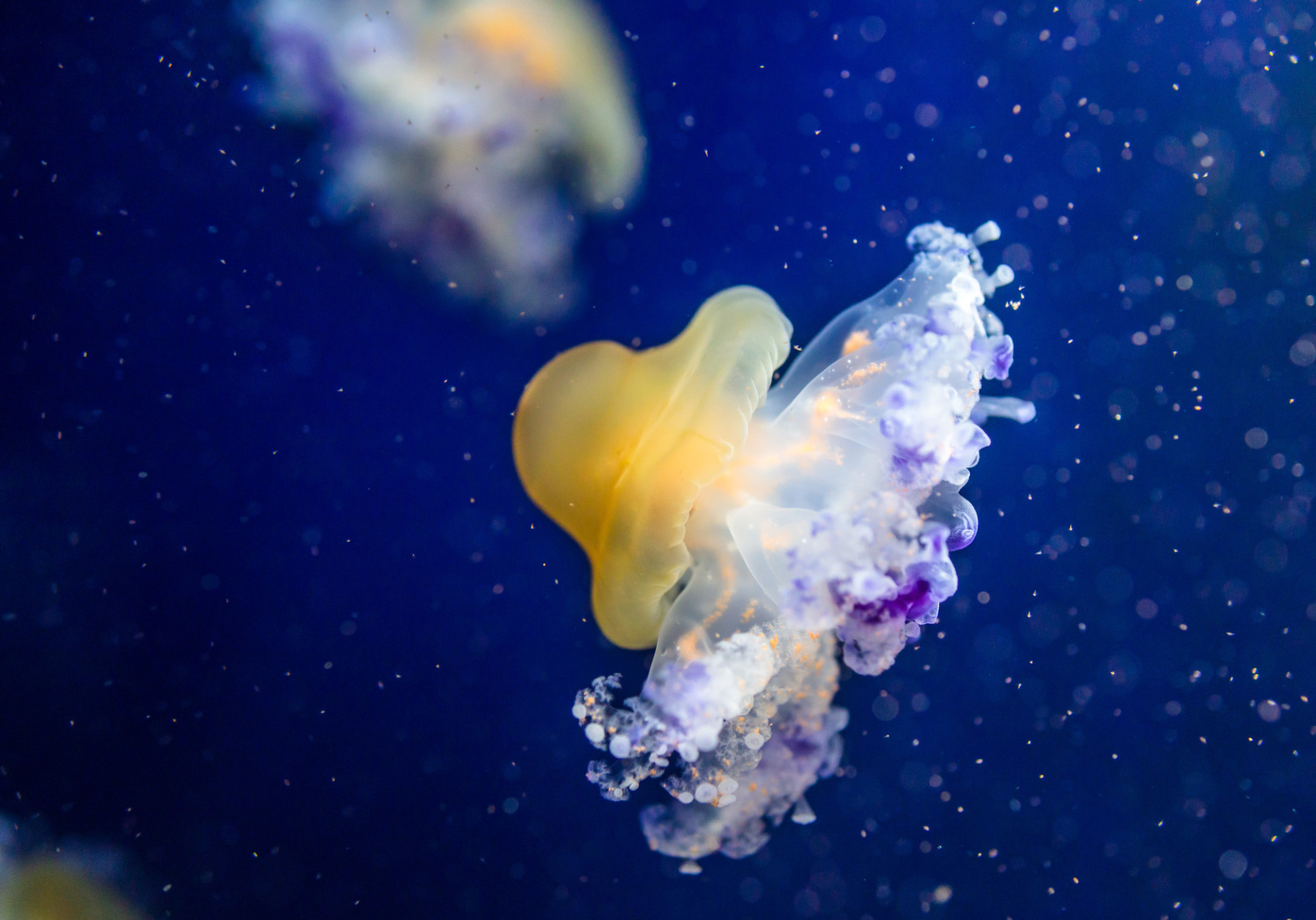 Cotylorhiza tuberculata a species of jellyfish, of the phylum Cnidaria.