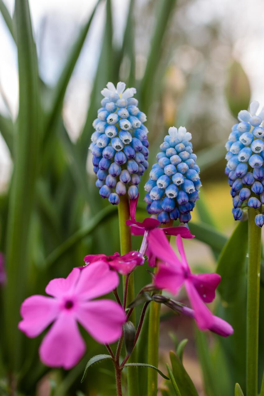 Beautiful Light Blue Hyacinths in May