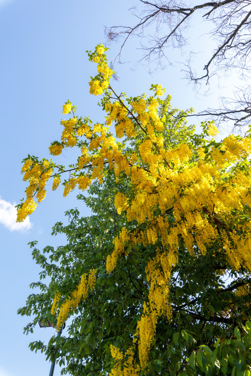 Laburnum anagyroides tree blooming