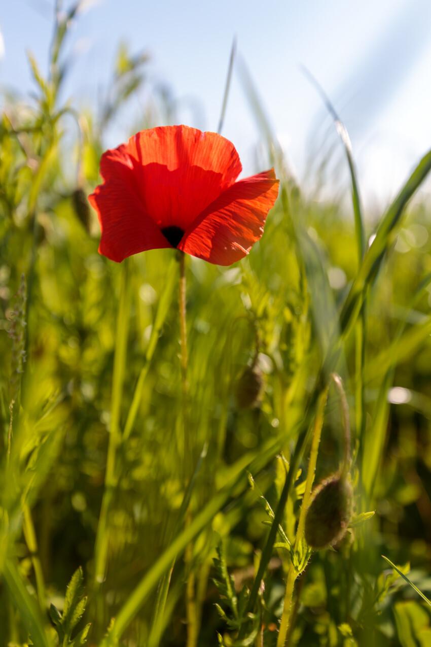 Beautiful red poppy in summer