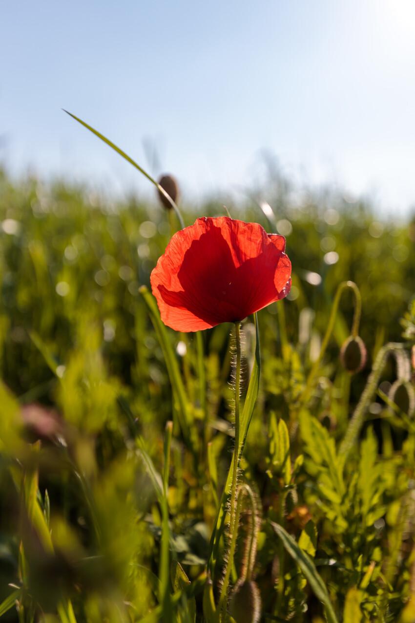 Single red poppy in the field
