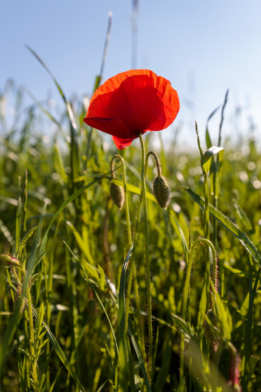 Red Poppy Photographed Vertically