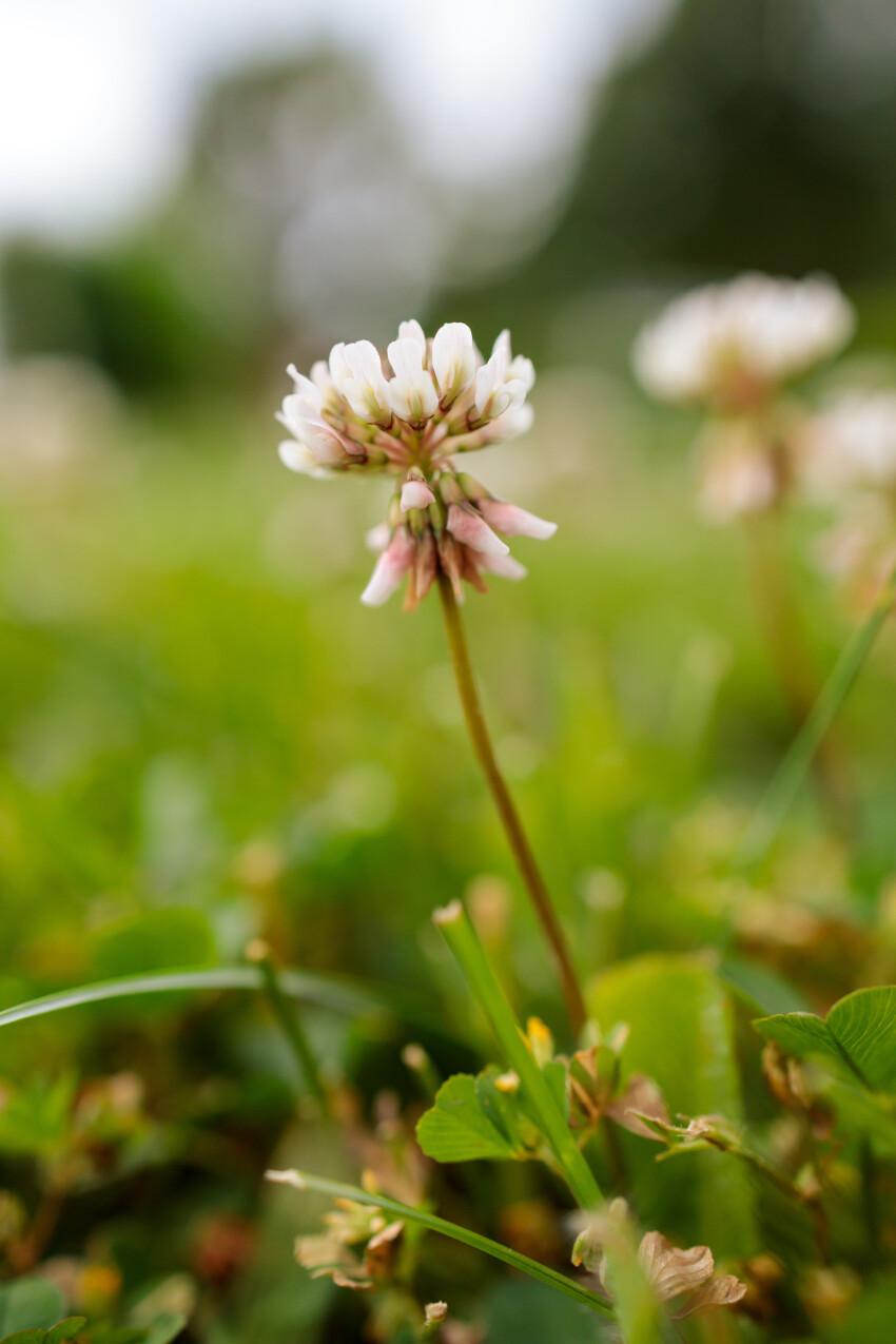 White Blooming Clover Flower