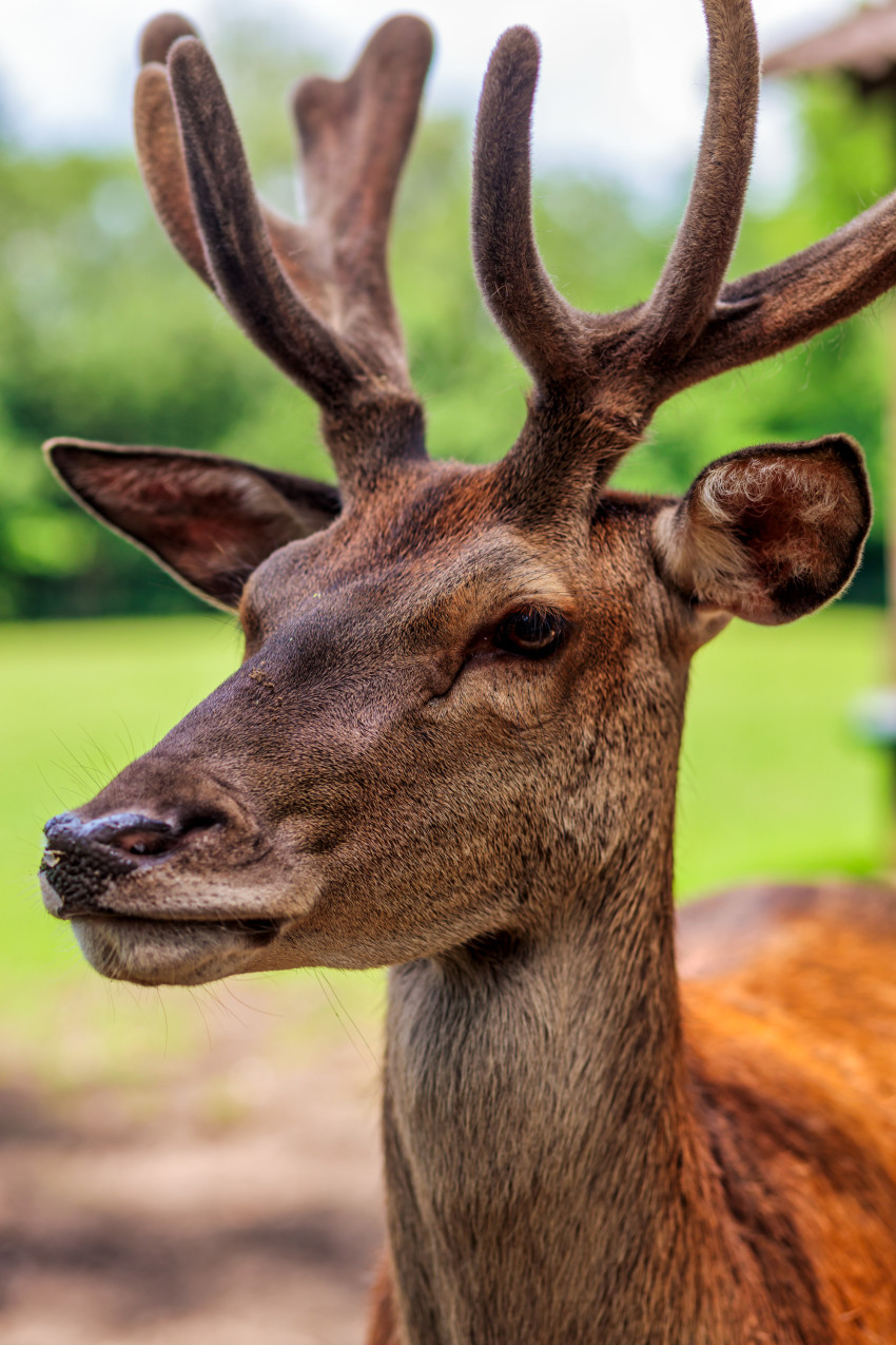 Portrait of a Stag with Magnificent Antlers