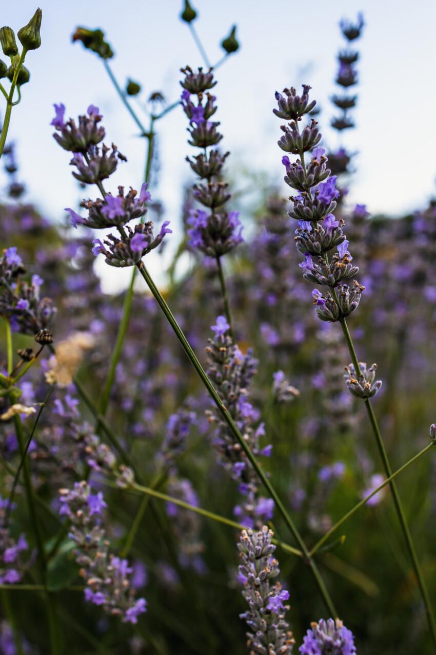 Lavender growing wild