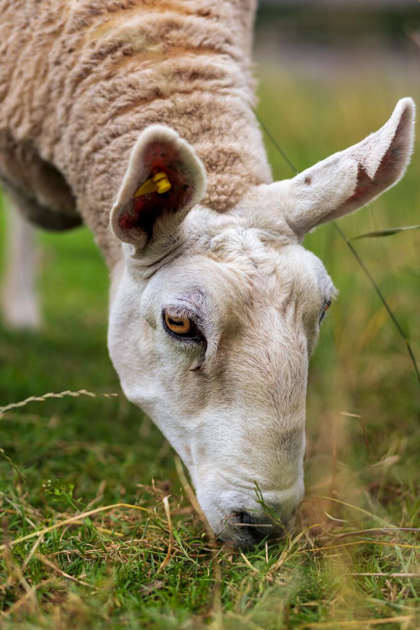 Grazing white sheep