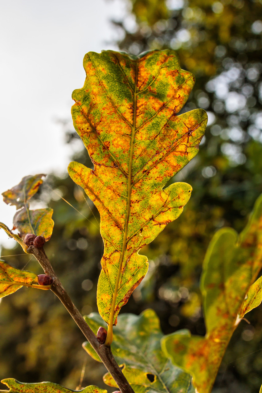Oak leaf in late summer