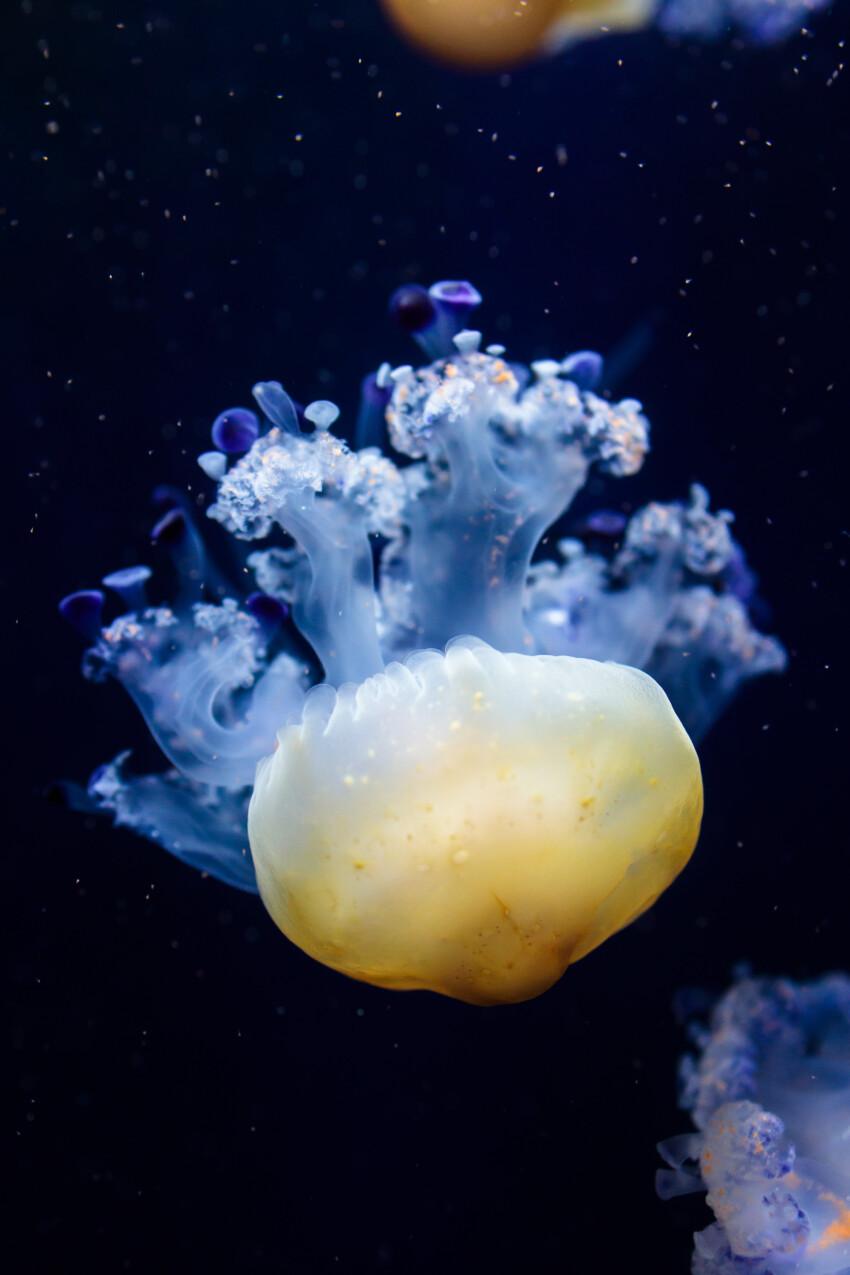 Cotylorhiza tuberculata also known as the Mediterranean jellyfish, Mediterranean jelly or fried egg jellyfish
