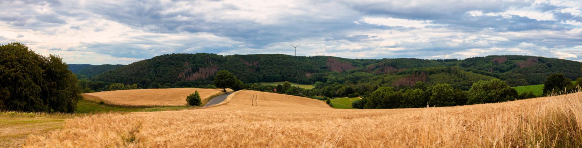 German wheat field