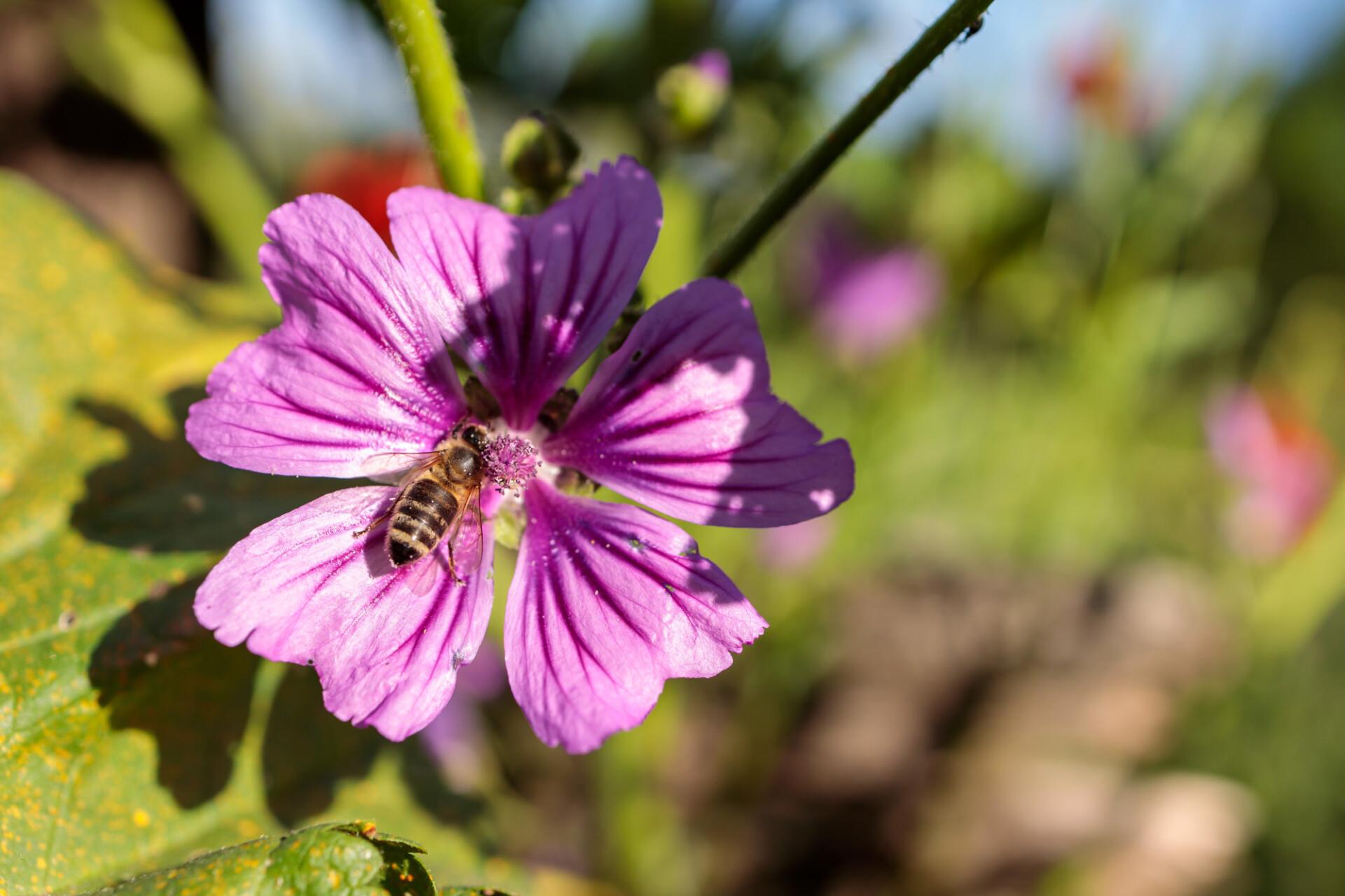 Honeybee on Dwarf mallow flower