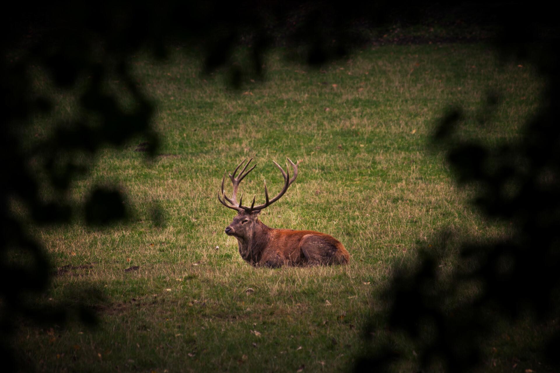 deer on meadow