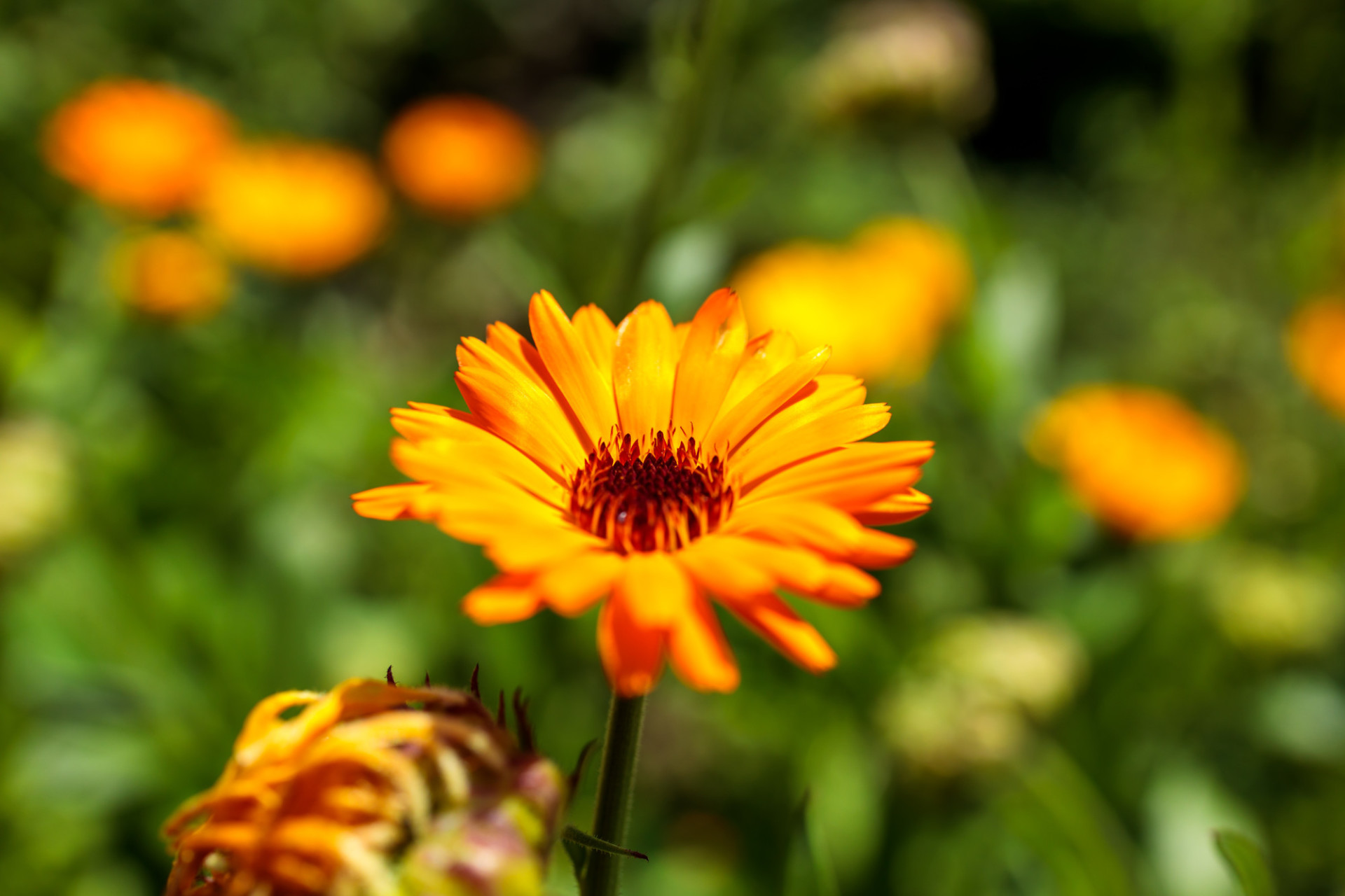 Magnificent marigold shines in the glow of light