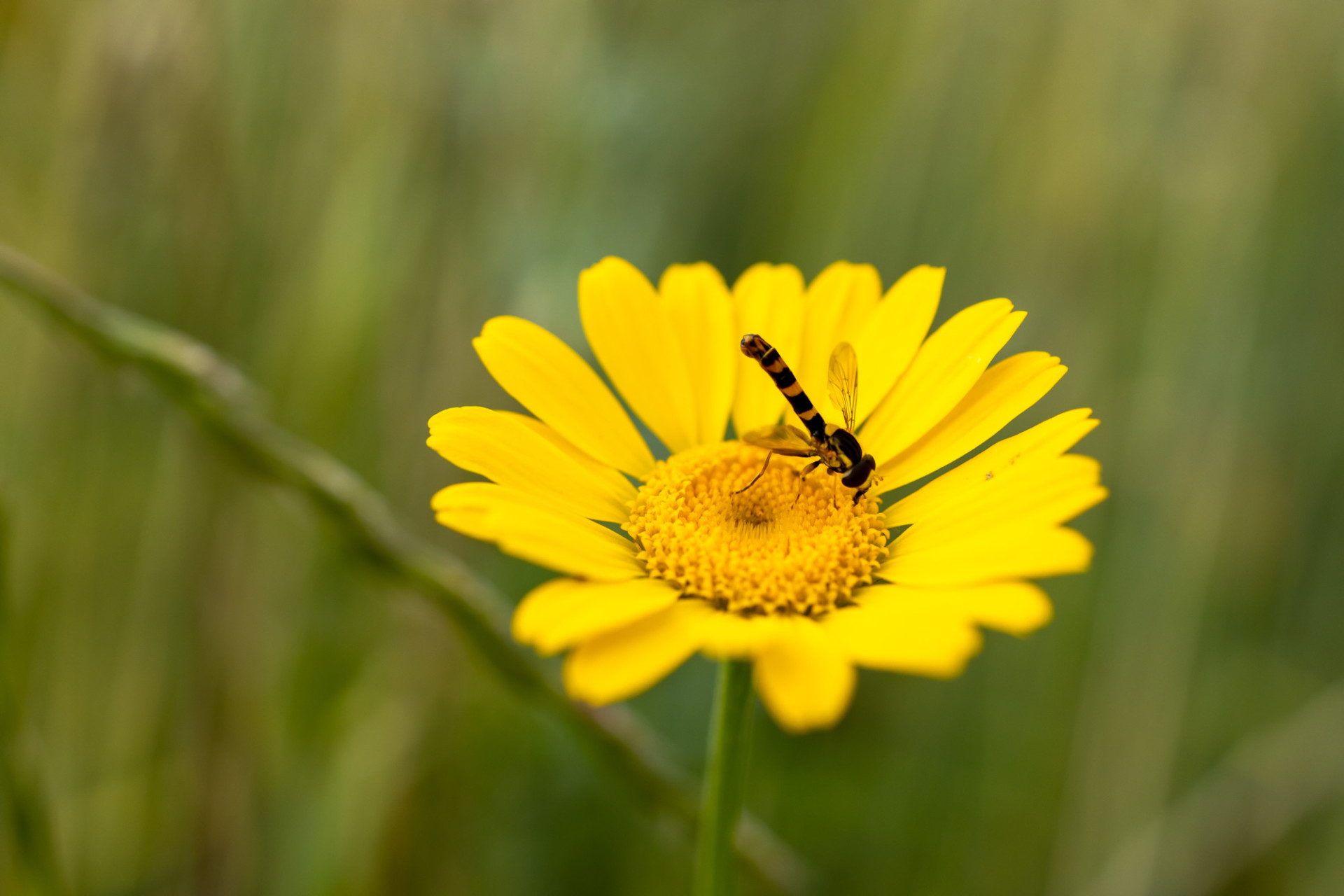 Hoverfly collecting nectar from a yellow chamomile flower