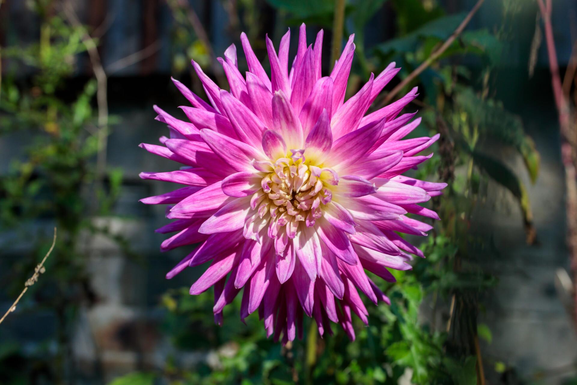 Gorgeous dahlia flower