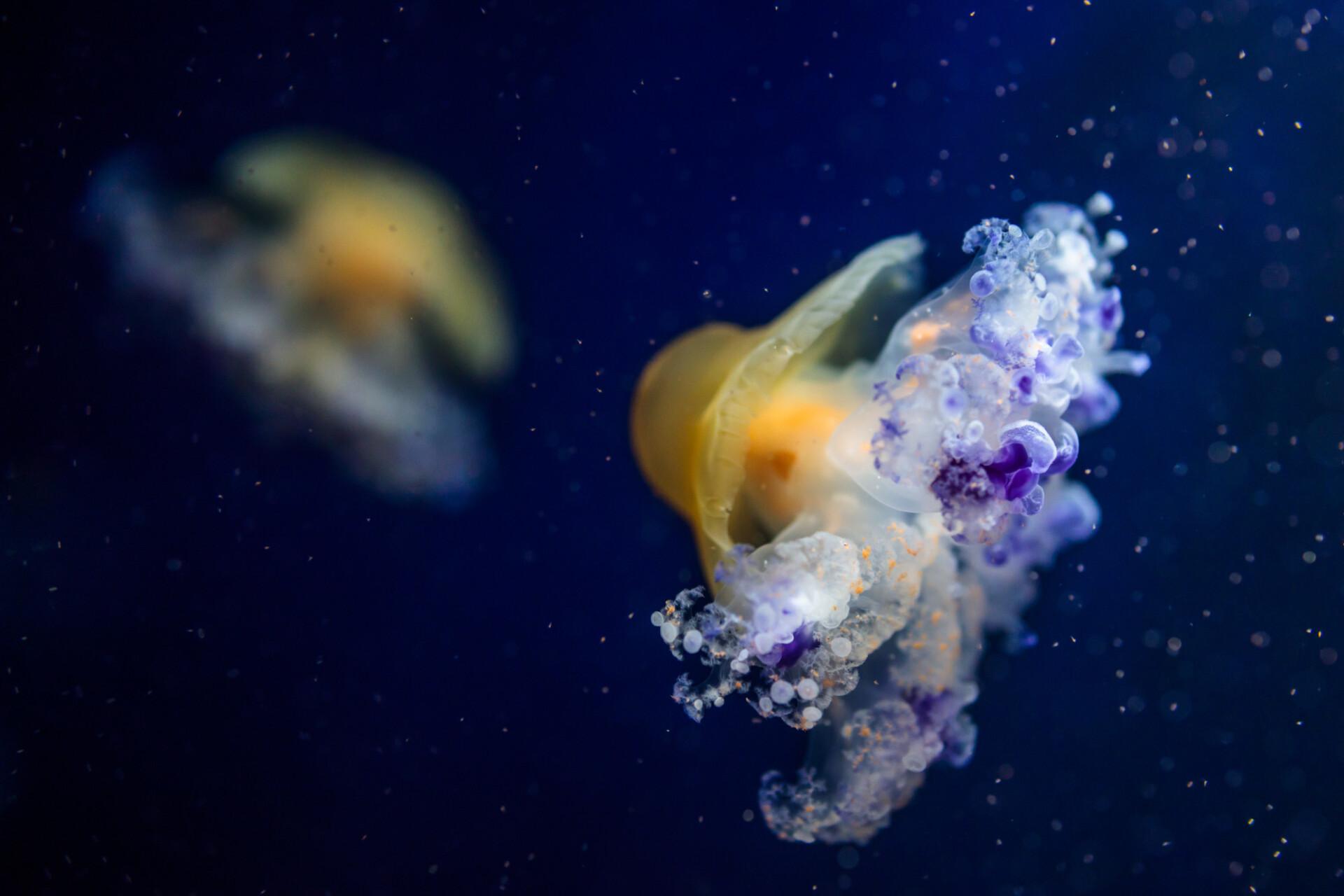 Cotylorhiza tuberculata, Mediterranean jellyfish, Mediterranean jelly or fried egg jellyfish