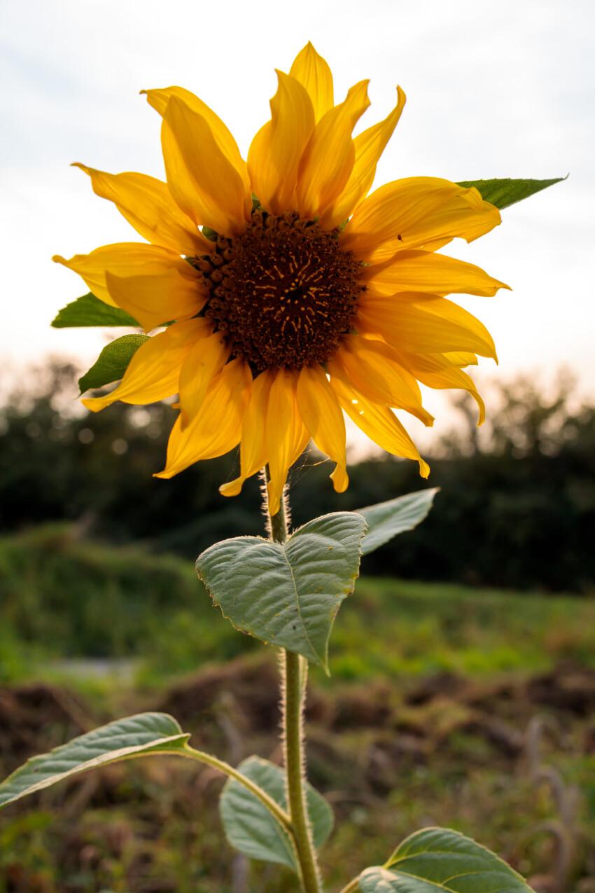 Sunflower at sunset in september