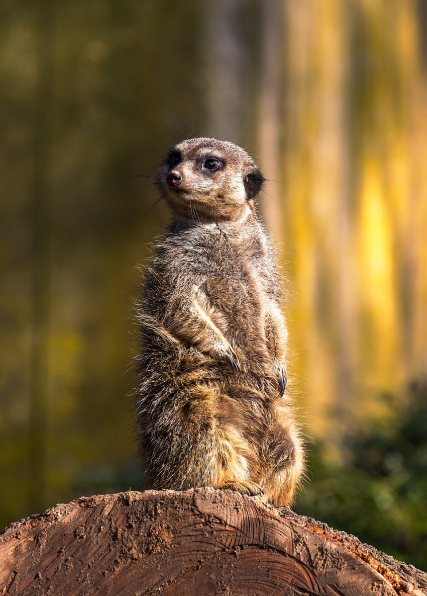 Meerkat (Surikate) guarding