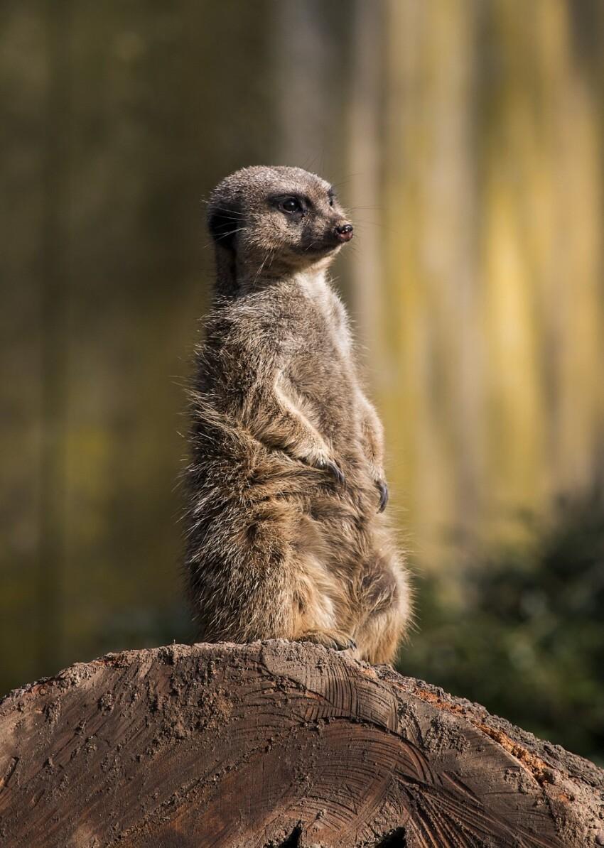 one meerkat look out