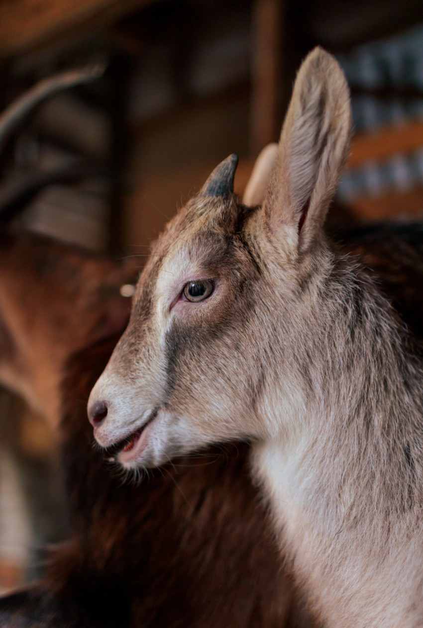 Little young goat in the stable