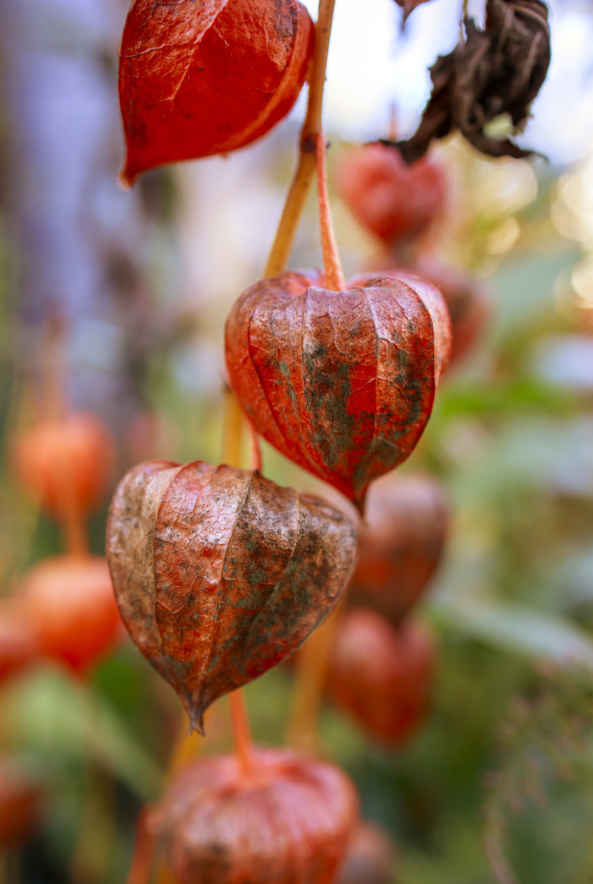 Physalis peruviana - Cape gooseberry, goldenberry or physalis