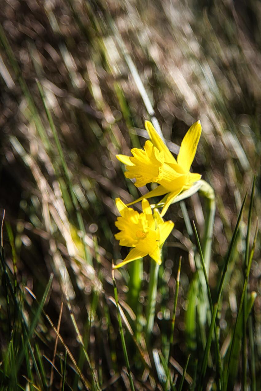 beautiful yellow daffodil flower between grass
