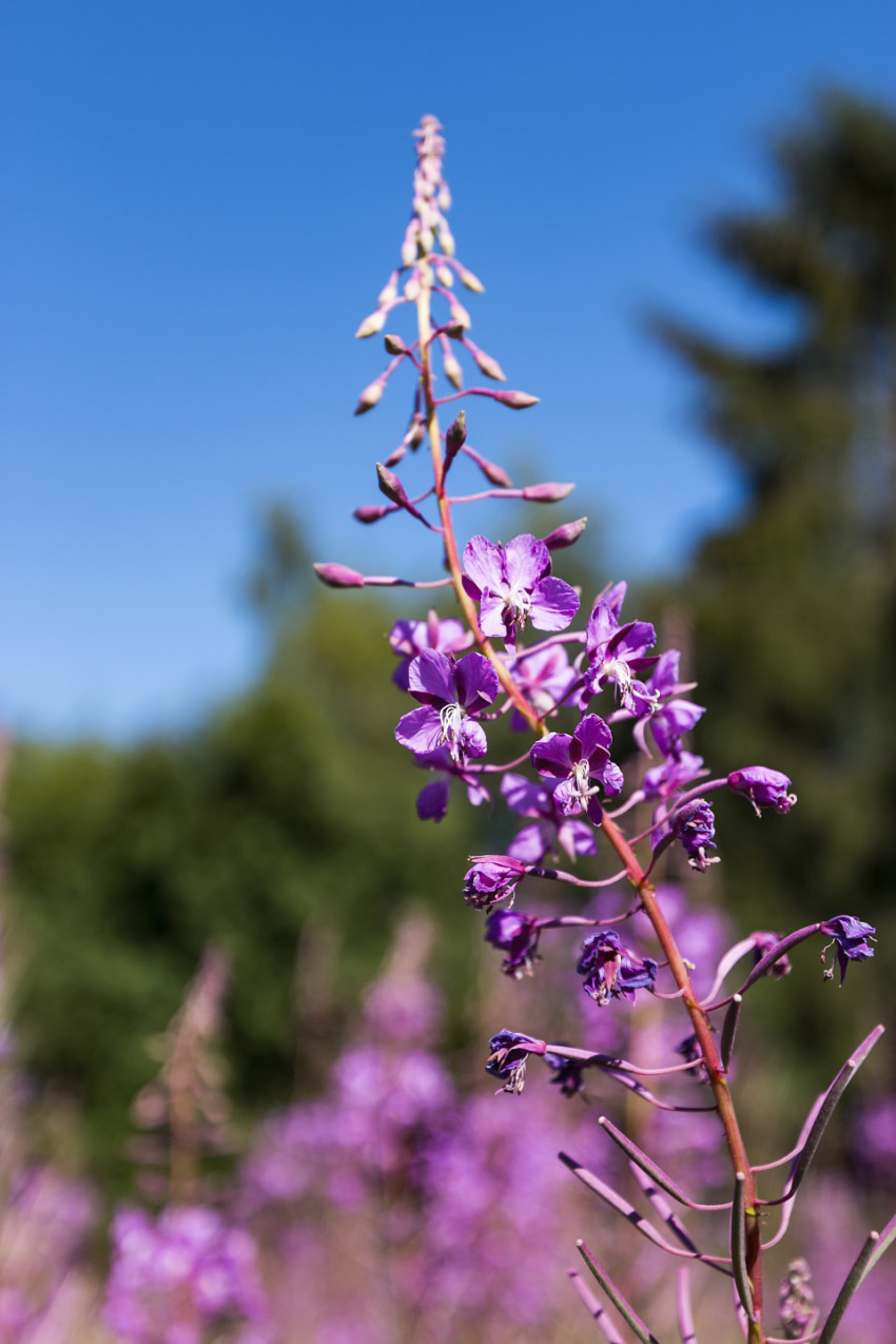Purple fireweed flowers