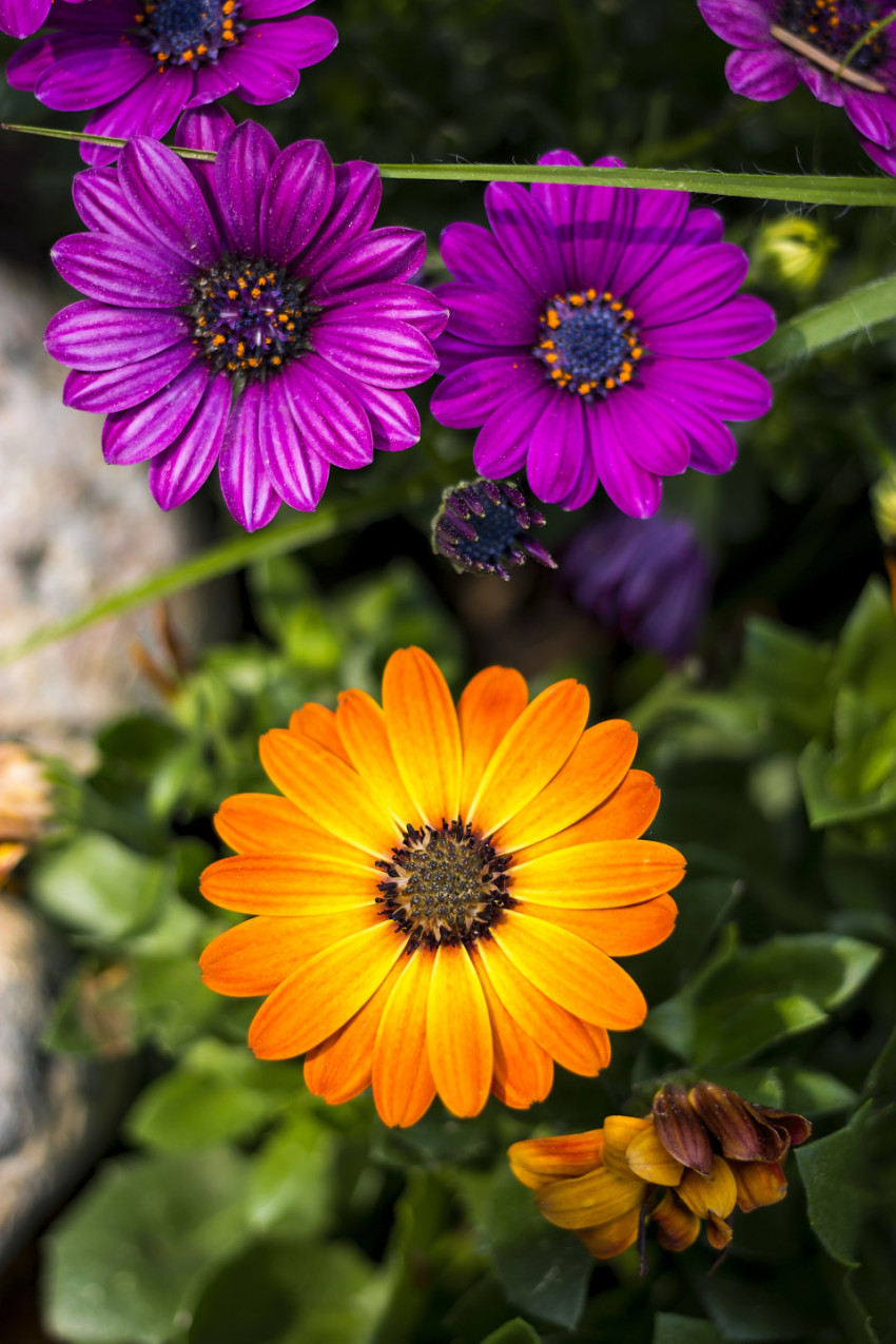 margeriten garden flowers