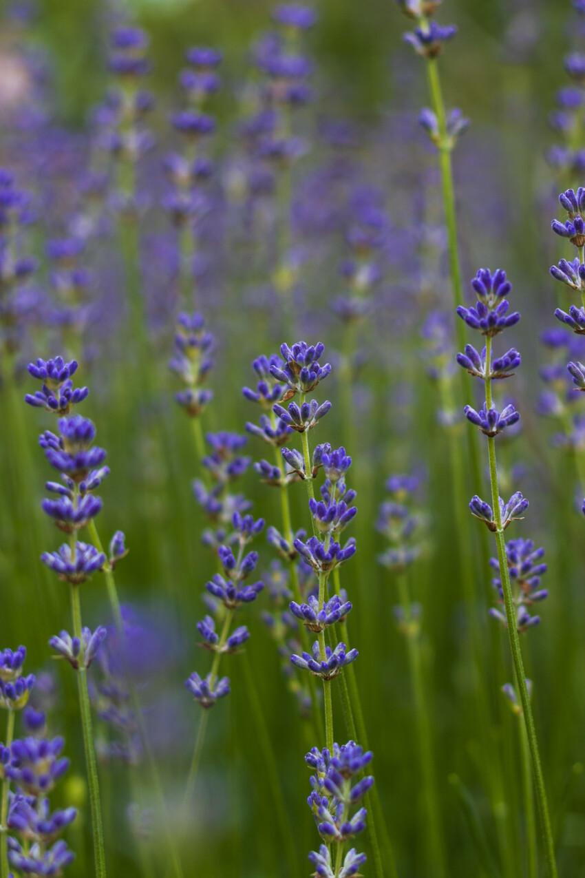 lavender flowering