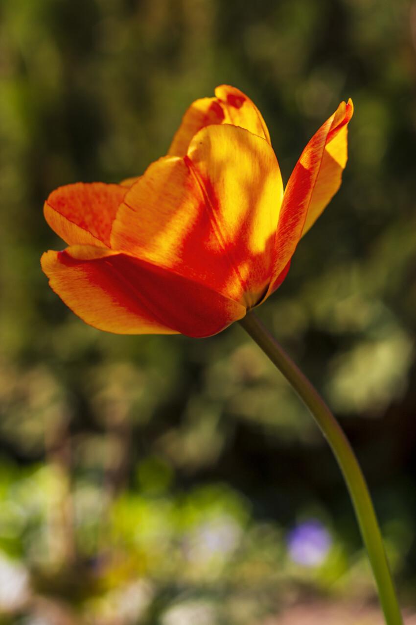 orange tulip in spring