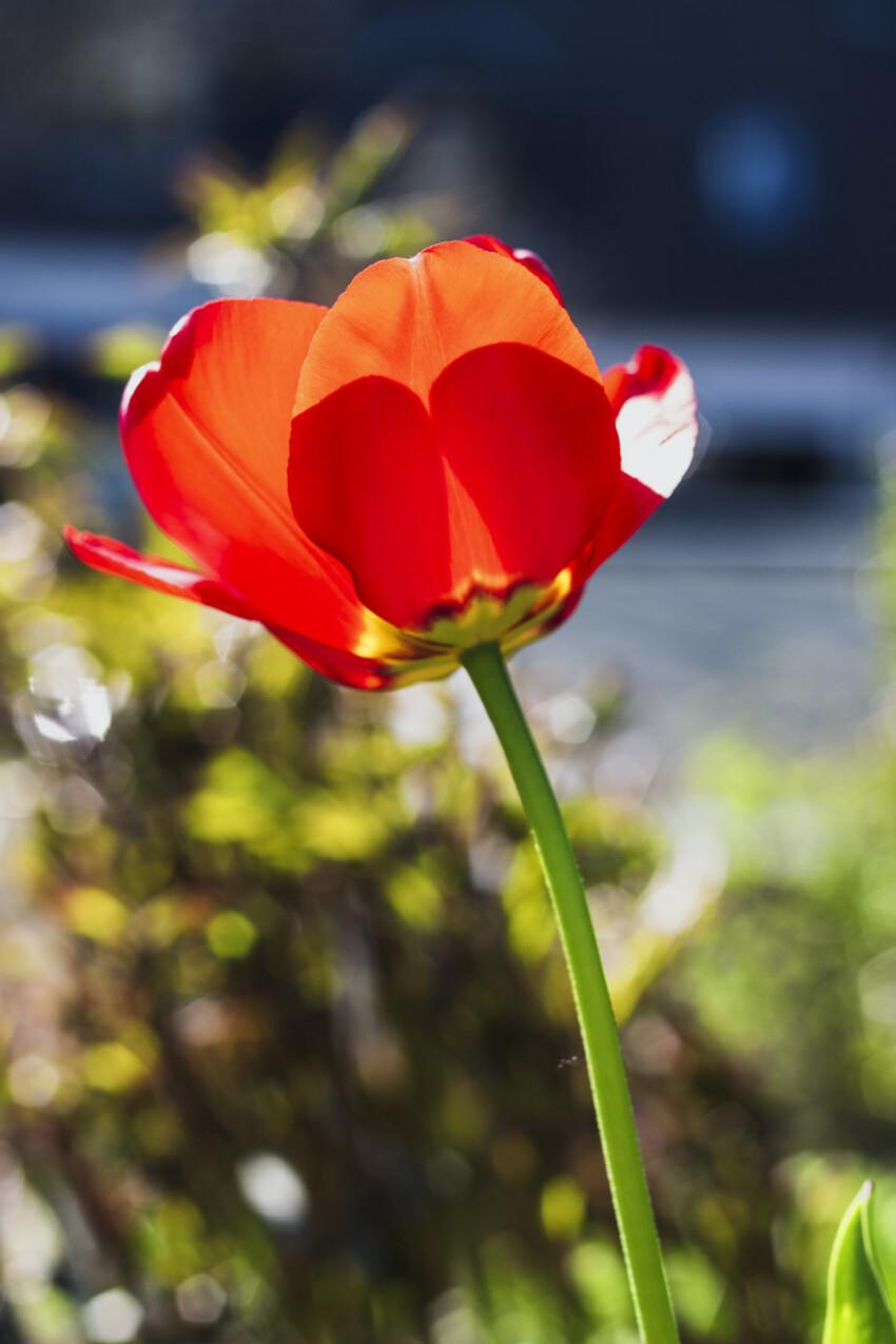 red tulip flower in spring