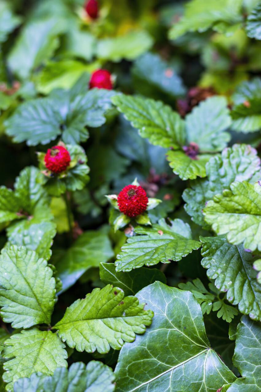 Duchesnea indica, mock strawberry, Indian strawberry, or false strawberry.