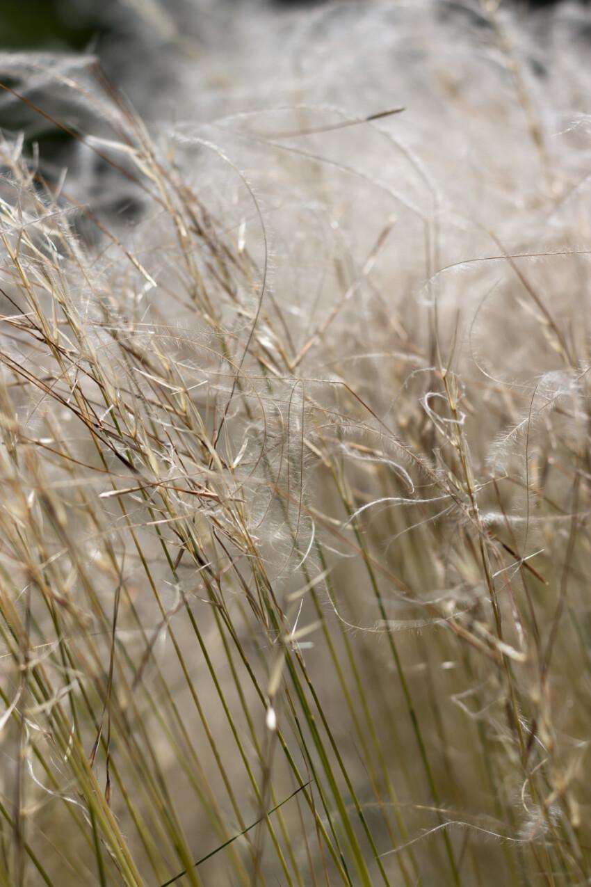 stipa - beautiful white feather grass