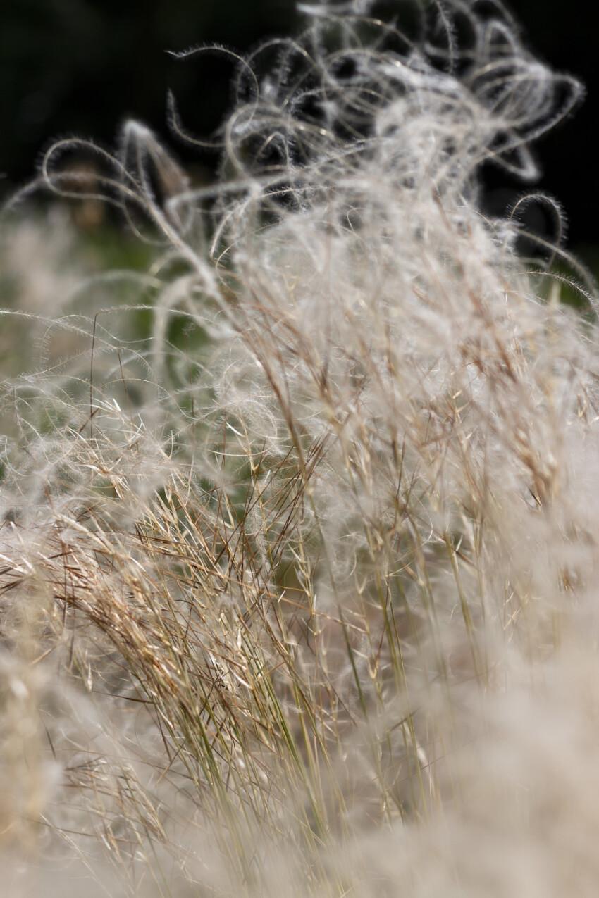 stipa feather grass