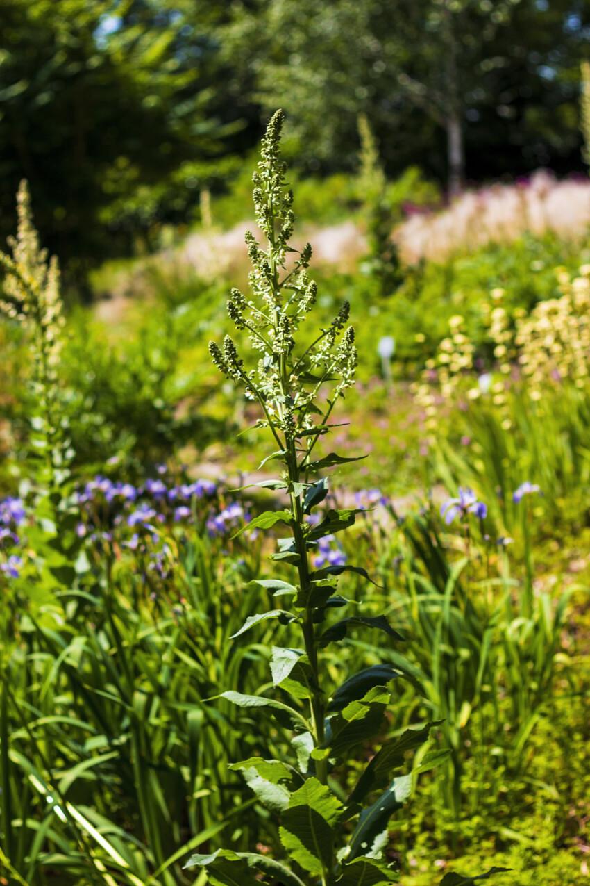 Eremurus himalaicus flowers in the garden