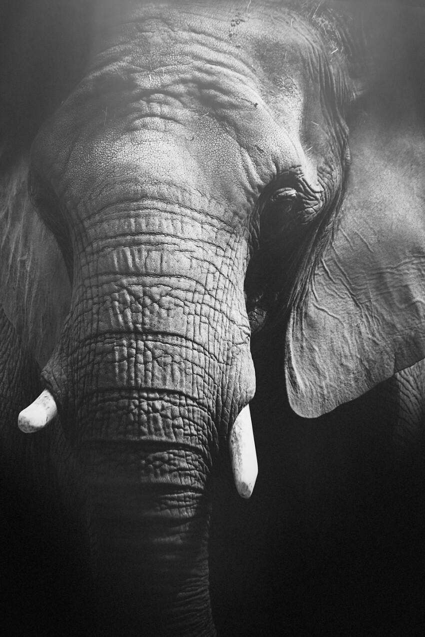 Beautiful Elephant Portrait Close Up