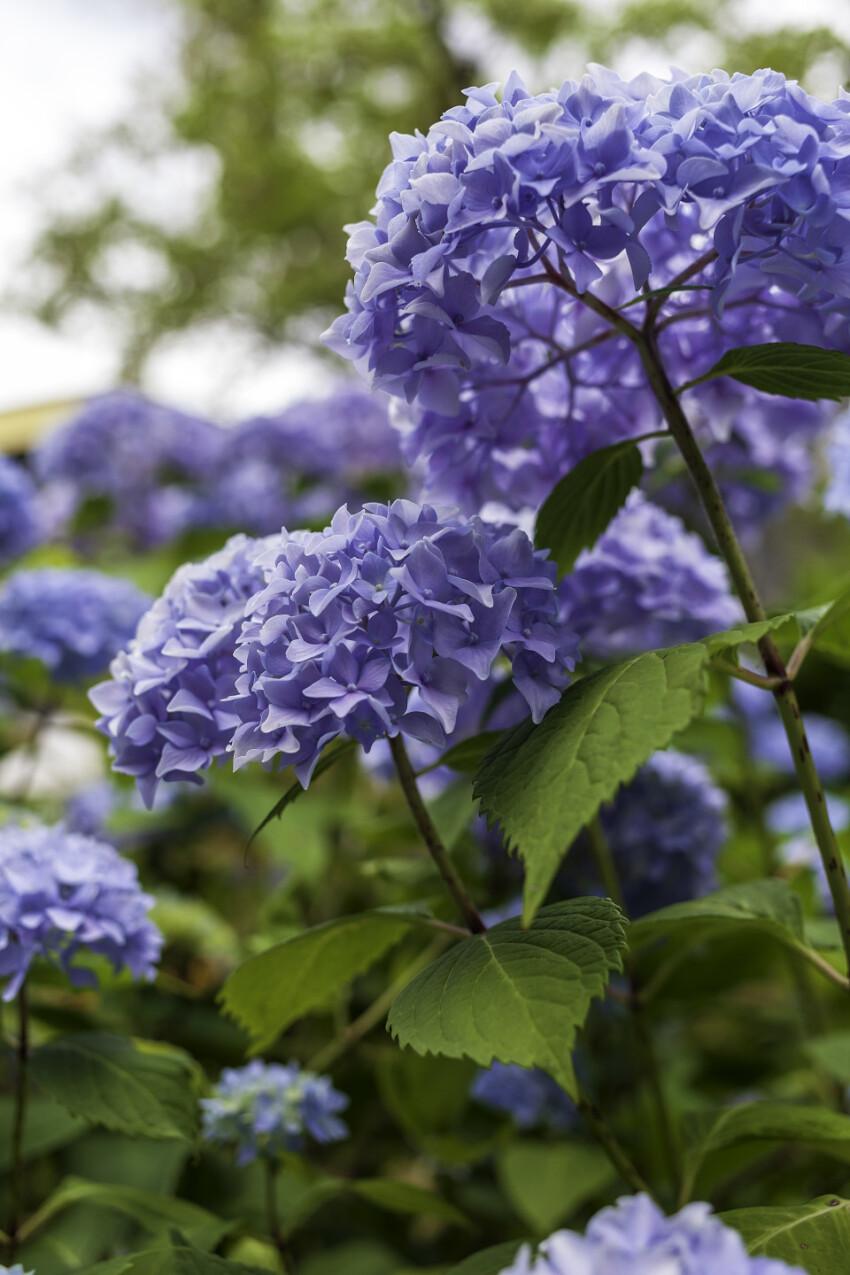 Blue Rhododendron Russatum