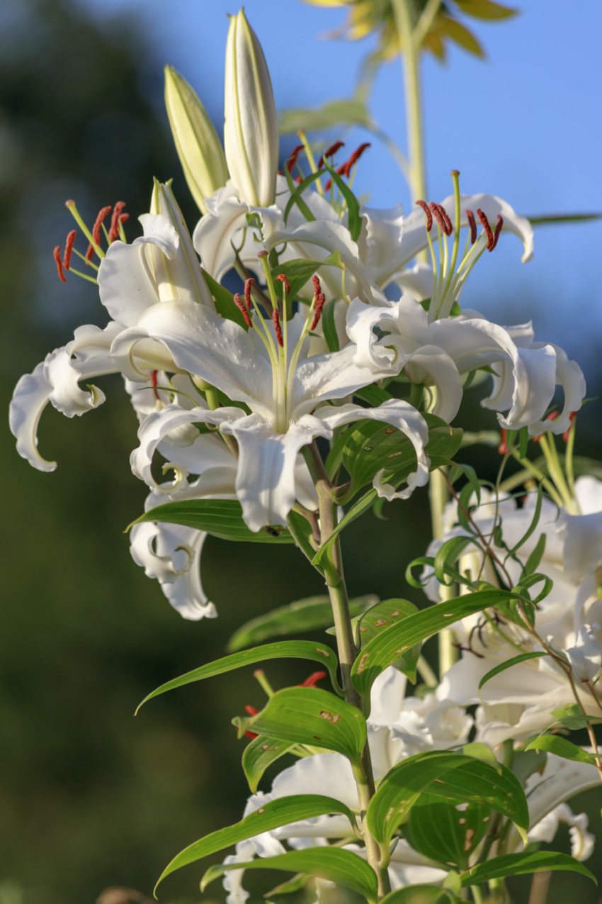 White lily in august summer