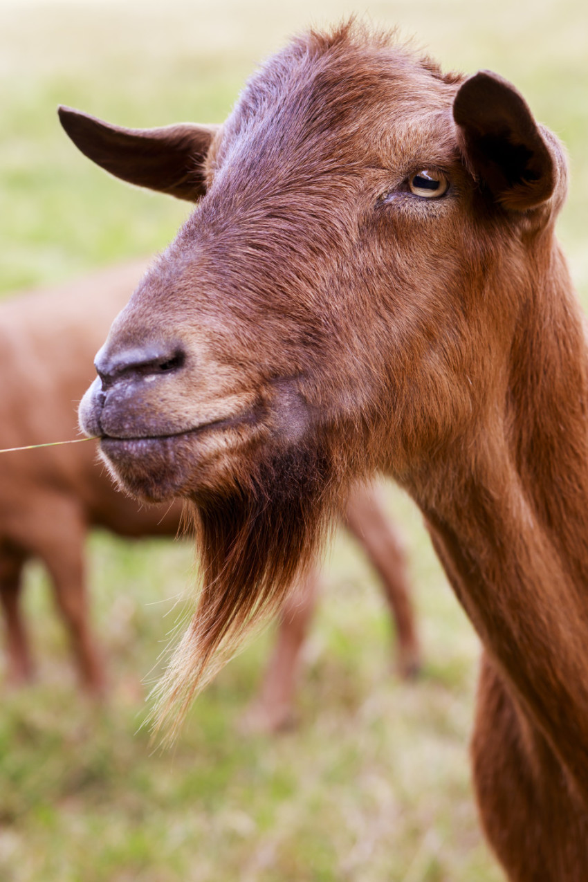 brown goat portrait on the meadow