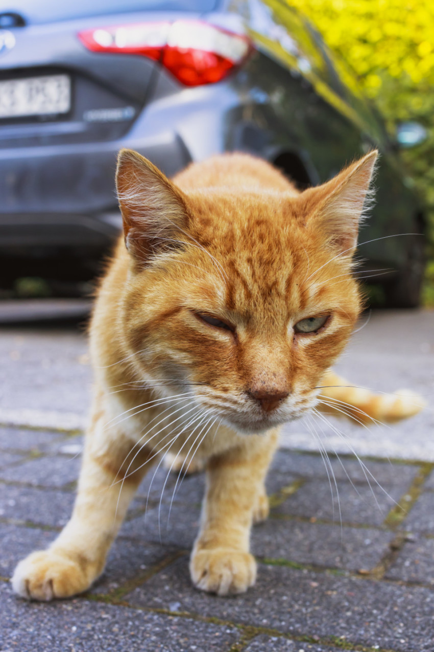 Cute ginger cat standing on a street